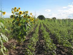 Afbeelding: sunflower field